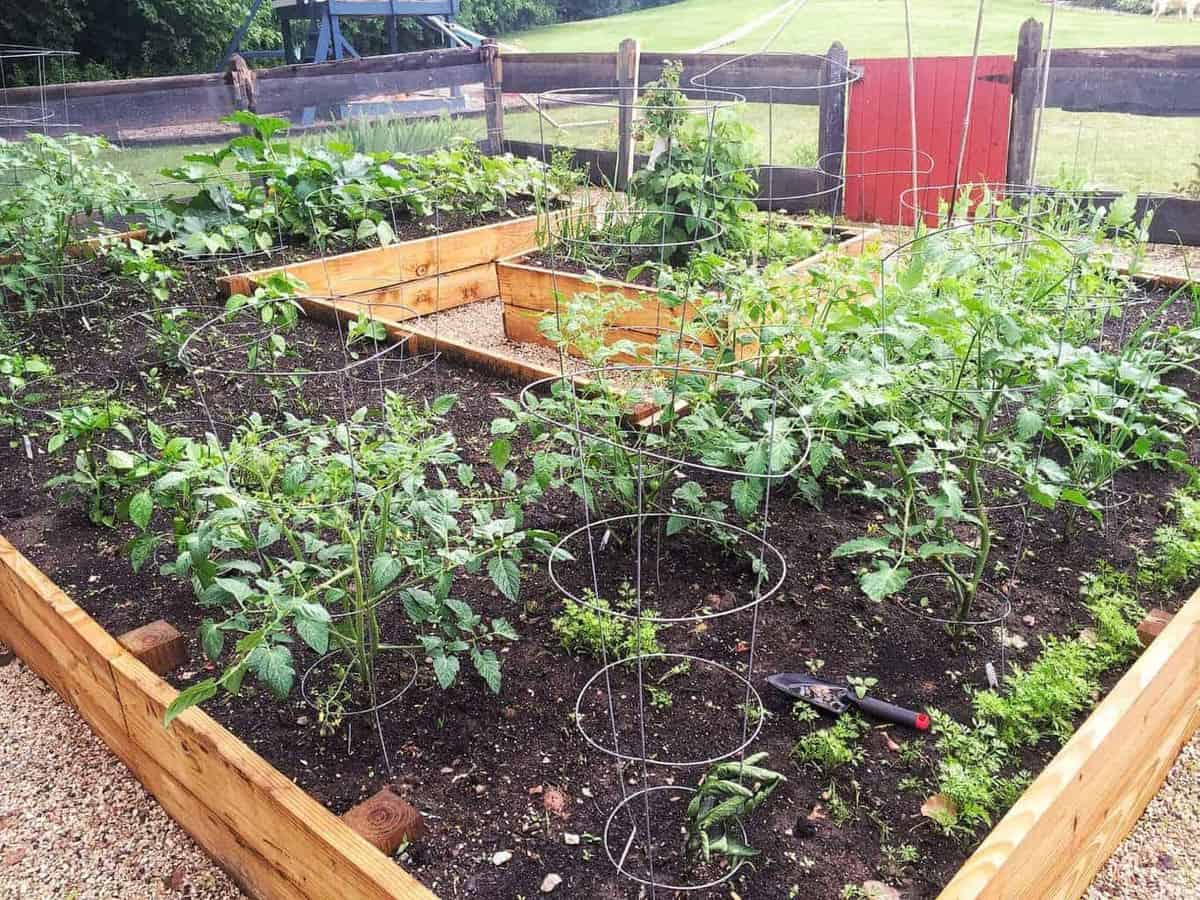 A u-shaped raised bed garden shown with plants growing