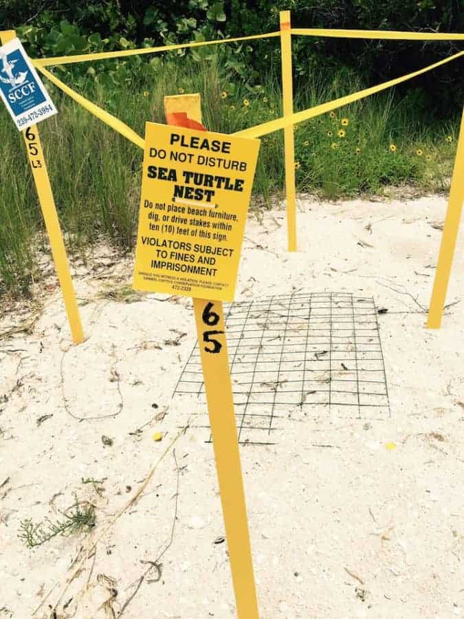 sea turtle nesting on sanibel island