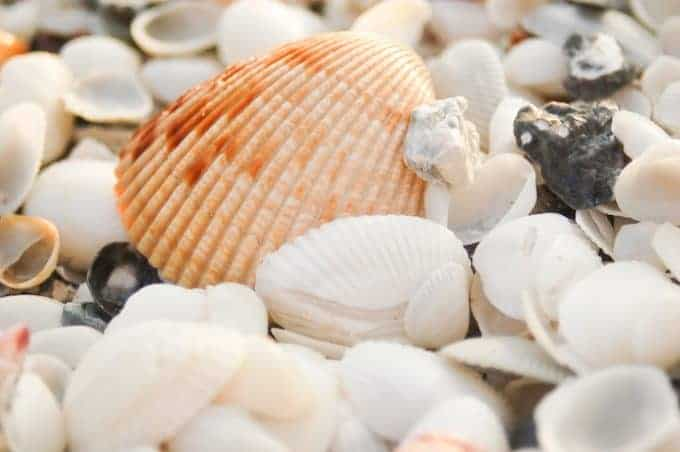 close up photo of Sanibel Island shells