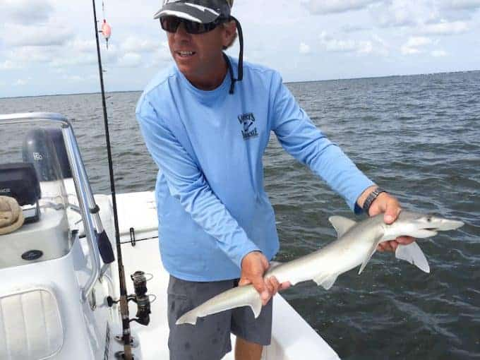 Finish guide holding small shark in waters of sanibel island Florida