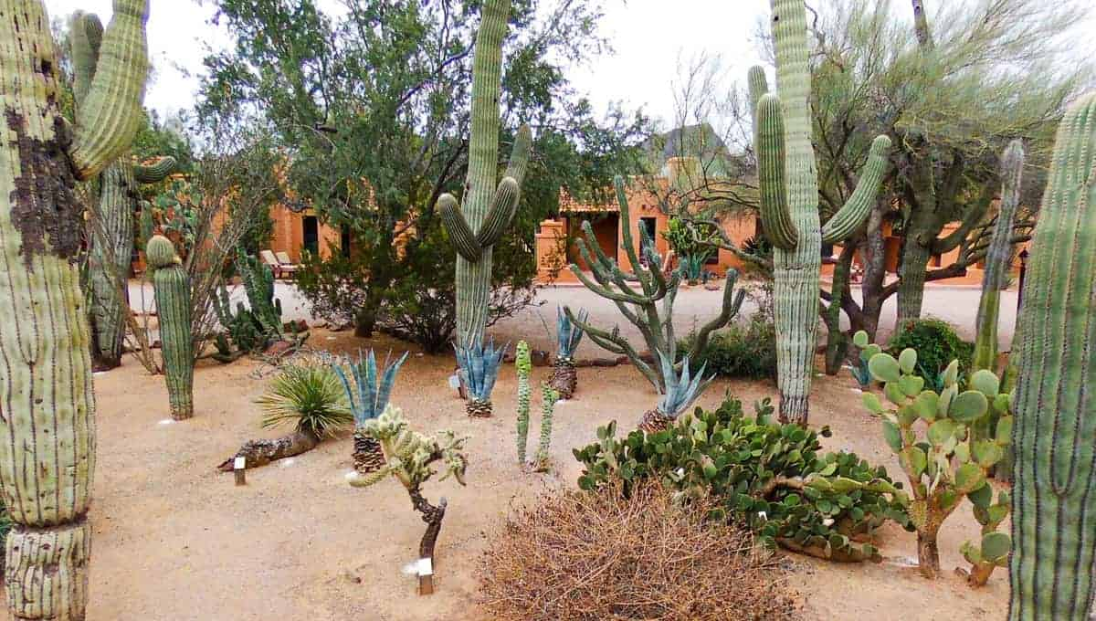 White Stallion Ranch, the Best All-Inclusive Resort in Arizona showing the landscape of the desert, which includes the Saguaro cactus.
